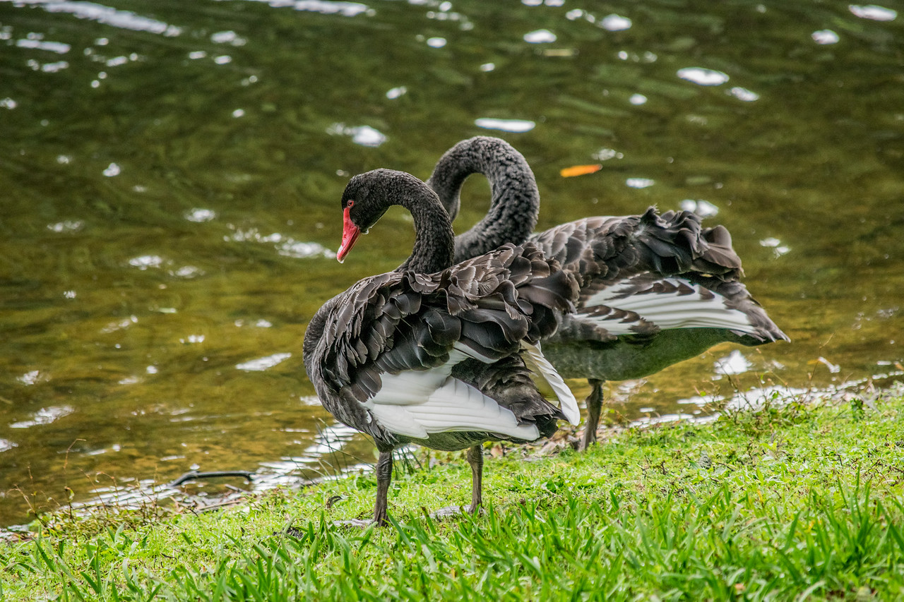 Black Swans at Borgess Park, Taranaki, New Zealand