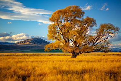 Omarama Tree II