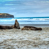 Relaxing on the Beach - Sea Lions