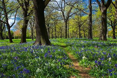 Bluebells in Hagley Park