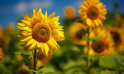 Sunflowers III
