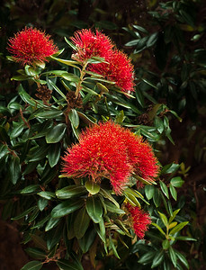 NZ Christmas Tree (metrosideros excelsa)