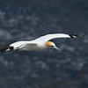 Gannet in flight; 300mm 1/4000 ISO 200 f/5.6