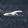 Gannet in flight; 300mm 1/4000 ISO 200 f/5.6