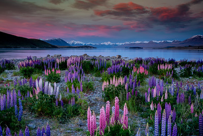 Sunset lupins at Lake Tekapo