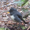 This South Island Robin and its mate followed along with us hoping that they would be able to capture some insects disturbed by us as we tramped by.  Taken at the Routeburn Track Red Beech forest by Shane Anderson in Nov. 24, 2014