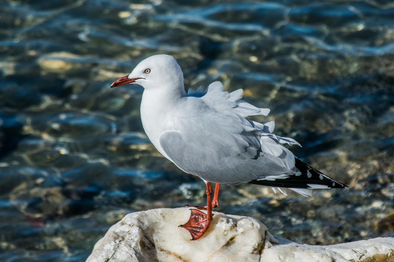 Black-backed Gull, Motueka, New Zealand