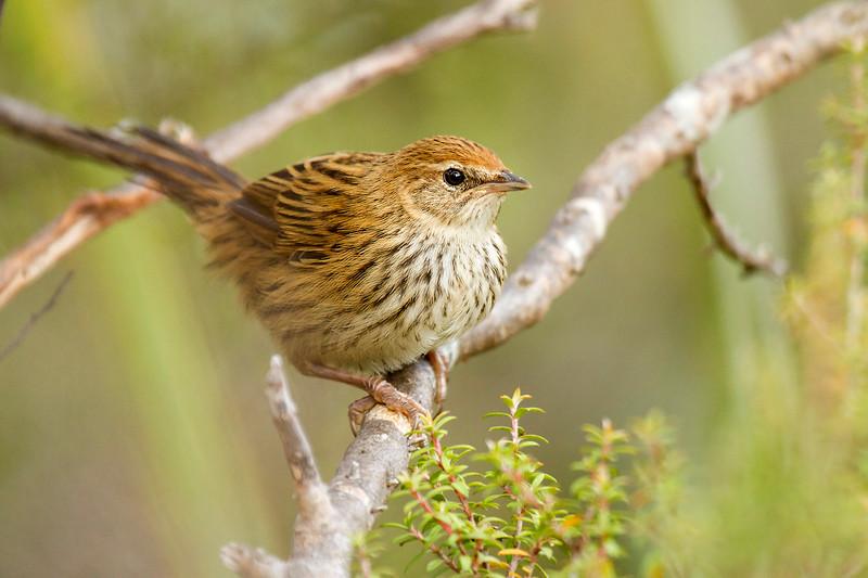 Fernbird