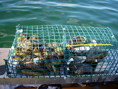 Green Lipped Mussels in cages