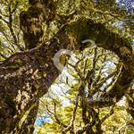 Curly Beech Tree