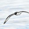 Cape Petrel; 420mm 1/4000 ISO 1600 f/5.6