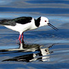 Australasian Pied Stilt calling out a warning to three chicks nearby.  Taken at the Auckland water treatment plant by Shane Anderson on Nov. 10, 2014