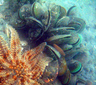 Eleven Armed Sea Star on a Green Lipped Mussel Bed