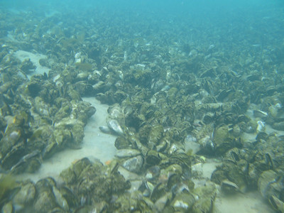 Green Lipped Mussel Reef