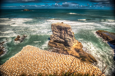 Gannet Colony Muriwai Beach