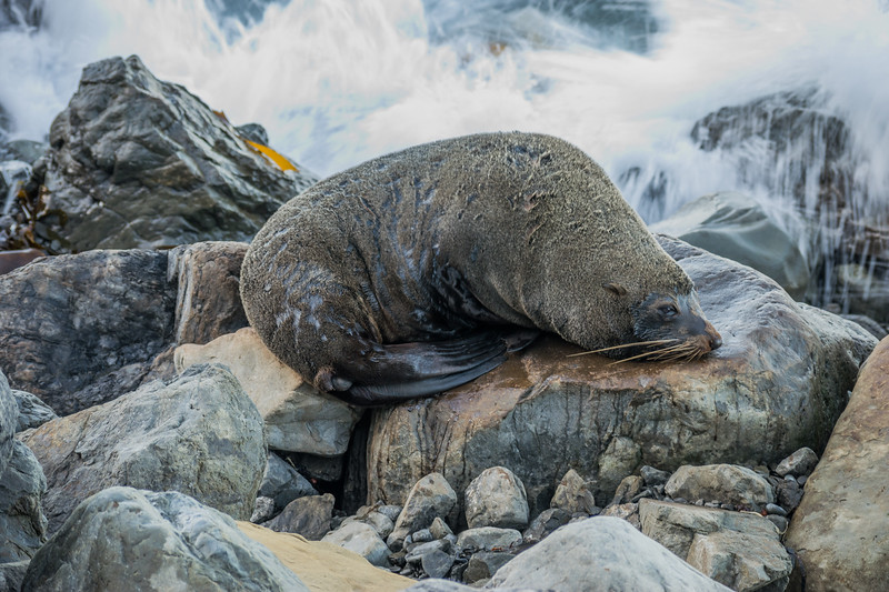 Seal drying on the stones at the PAcific Ocean highway near Kaikoura, New Zealand