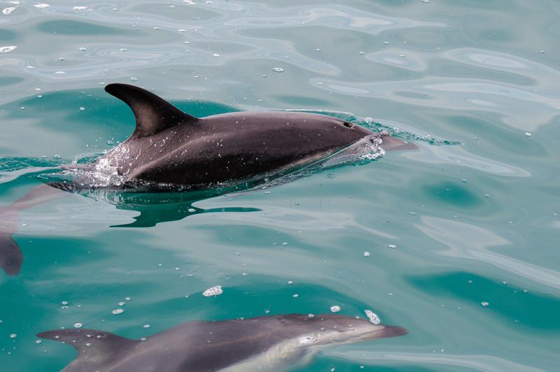 Kaikoura - dolphin