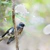 Fantail; 300mm 1/400 ISO 3600 f/4