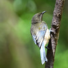 Bellbird; 300mm 1/640 ISO 1400 f/4