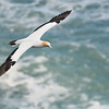 Gannet in Flight; 300mm 1/4000 ISO 500 f/4.5