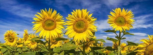 Sunflower Pano II