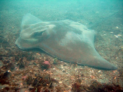 Eagle Ray in Ohiwa Harbour