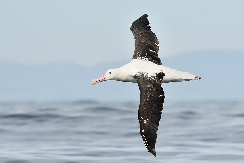 Royal Albatross; 420mm 1/4000 ISO 1000 f/7.1