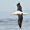 Royal Albatross; 420mm 1/4000 ISO 1000 f/7.1
