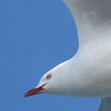 A Red Billed Gull soars overhead while in search for food along the beach strand.  Taken at Kiakoura by Shane Anderson on Nov. 18, 2014