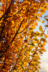 Orange Leaves Kissed By Sunlight