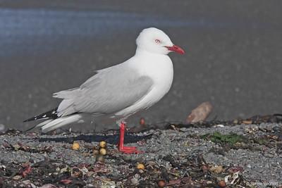 Red-billed Gull