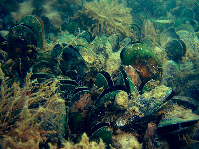 Green Lipped Mussel Bed