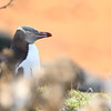 Yellow Eyed Penguin; 500mm 1/1000 ISO 400 f/5.6