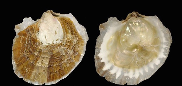 Native flat oyster close up