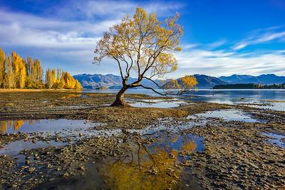 Wanaka Tree Autumn