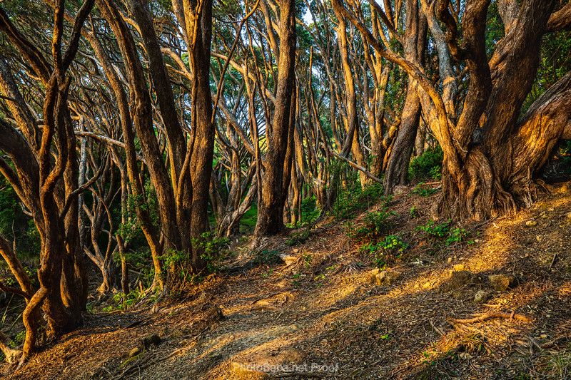 Sunrise in Pohutukawa forest on way to Shiva Beach