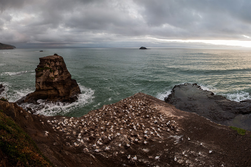 The gannet colony at Muriwai beach near Auckland, New Zealand