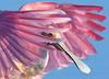 Spoonbill 5396 a