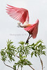 Spoonbill 3161 16X24 a for metal