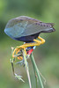 Purple Gallinule 5995