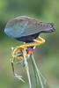 Purple Gallinule 5995