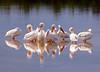 Pelicans white 9901