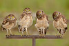 Burrowing Owls 6472 a  16X24 for metal