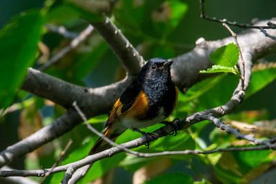 American Redstart male.