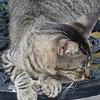 Marilyn_1_Hemmingway cat