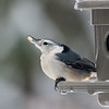White-Breasted Nuthatch (male I think)