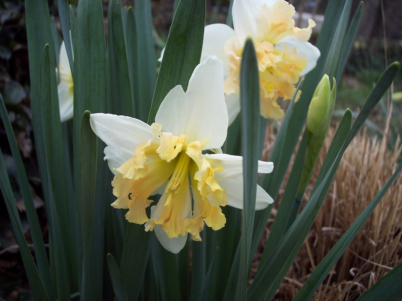 Unusual jonquil with frilled throat