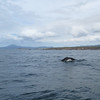 Humpback whale, Eden, NSW