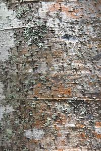Kauri Tree, Coromandel