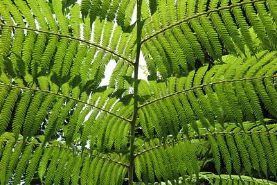 Tree Fern, Coromandel